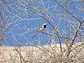 Les oiseaux d'Egypte - panoramio - youssef alam (5).jpg