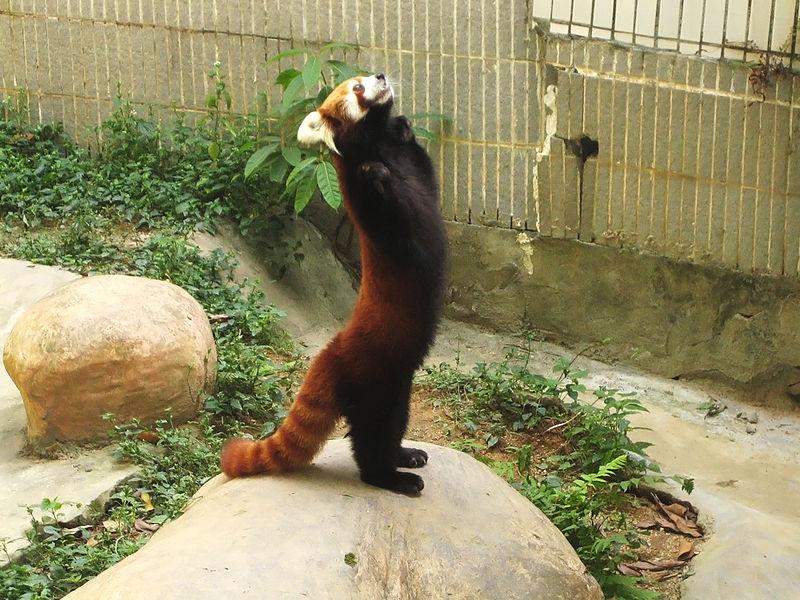 File:Lesser panda standing.jpg