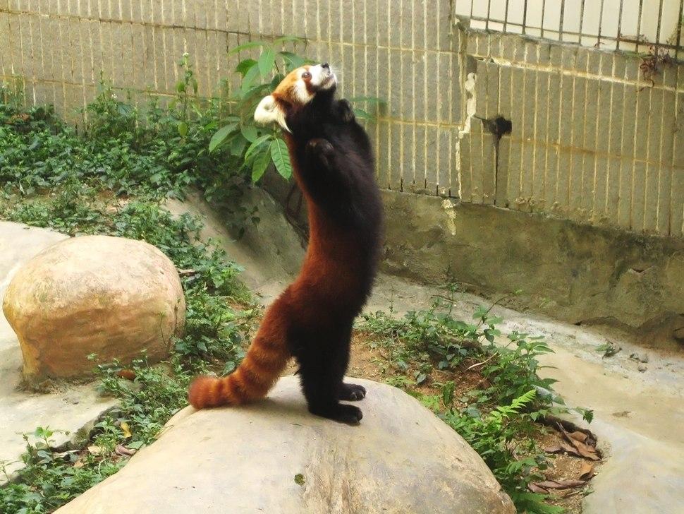 Lesser panda standing