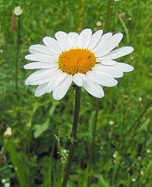 Josephine O'Doherty (nee Williams) 220px-Leucanthemum-vulgare01