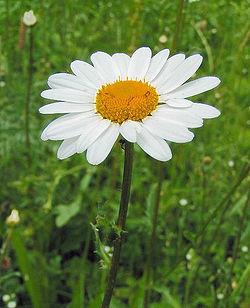 vit blomma med gult i mitten