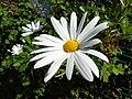 Leucanthemum × superbum.003 - Burela.jpg