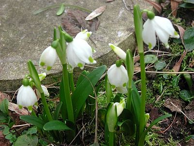 Білоцвіт весняний — Вікіпедія