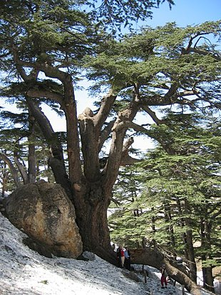 "<small><a href=""http://search.lycos.com/web/?_z=0&q=%22Cedrus%20libani%22"">Lebanon Cedar</a>s on the slopes of Mount Lebanon, with thawing winter snow.</small>"