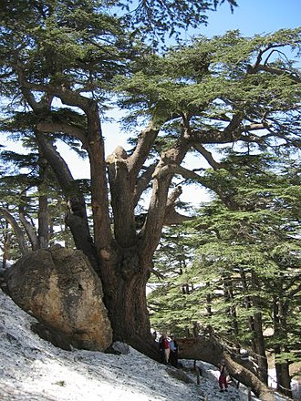 Mount Lebanon - Lebanon Cedars on the slopes of Mount Lebanon, with thawing winter snow