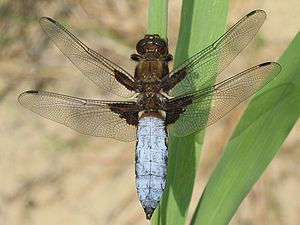 A male Broad-bodied Chaser (Libellula depressa...