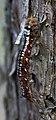 Lieberoser Heide Dendrolimus pini caterpillar 02.JPG