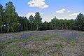 Lieberoser Heide Echium vulgare 01.jpg
