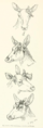Life Histories of Northern Mammals (1909) Cow Cervus canadensis with antler.png