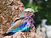 Lilac-breasted Roller 1.jpg