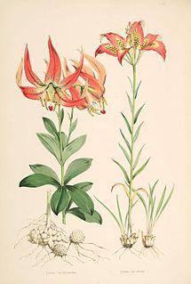 <i>Lilium michauxii</i> species of plant