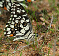Lime Butterfly (Papilio demoleus) mud-puddling W IMG 0274.jpg