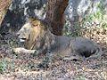 Lion at Nandankanan.jpg