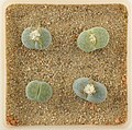 Lithops Collection - Top view - Feb. 2011 - (6).jpg