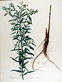 Lithosperum officinale — Flora Batava — Volume v13.jpg