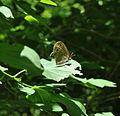 Little Wood-Satyr (Megisto cymela) (5910134636).jpg