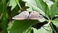 Little Wood Satyr (Megisto cymela) - Mississauga, Ontario 03.jpg
