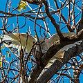 Little corella at Boulia Wildlife Haven Herbert St Boulia Queensland P1030433.jpg