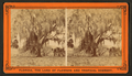 Live oaks covered with moss on the St. Johns River, near Mandarin, from Robert N. Dennis collection of stereoscopic views 3.png