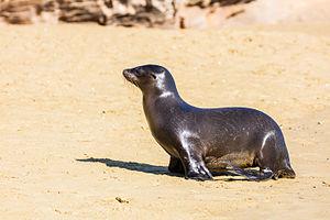 San Cristóbal Island - Young sea lion (Zalophus californianus wollebaeki), Punta Pitt.