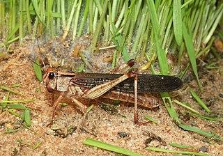 Locust grasshoppers