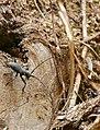 Longhorn Beetle (Morimus asper) on deadwood ... (35378345041).jpg
