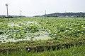 Lotus field in Namegata, Ibaraki 04.jpg