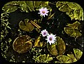 Lotus flower beds (3947976595).jpg