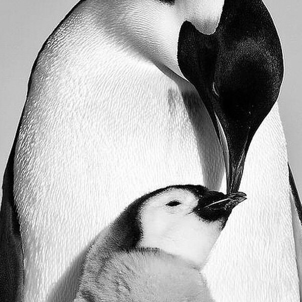 File:Love takes many forms. -penguins (14893159952).jpg