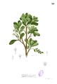 Lumnitzera racemosa Blanco1.126.png
