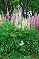 Lupinus in Hokkaido 20080630.jpg