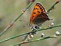 Lycaenia thersamon 02.jpg