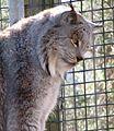 Lynx 22.jpg