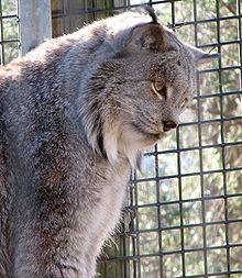 Tête de Lynx dans LYNX 220px-Lynx_22