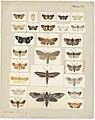 MA I437605 TePapa Plate-VI-The-butterflies full.jpg