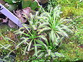MP-Drosera capensis.jpg