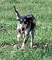 Mały gończy gaskoński Clea z Beckova Cb8.jpg