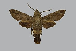 Macroglossum tenimberi BMNHE813833 male up.jpg