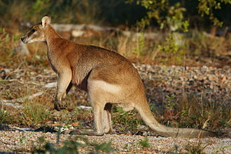 Wallaby - Agile wallaby