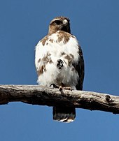 Madagascar buzzard sitting on a branch