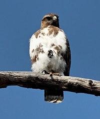 Madagascar buzzard.jpg