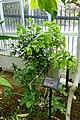Magnolia champaca - Gora Park - Hakone, Kanagawa, Japan - DSC08541.jpg