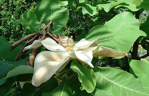Magnolia macrophylla - Blossom-2