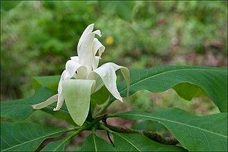 Magnolia tripetala - Image: Magnolia tripetala 2