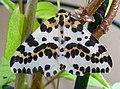 Magpie. Abraxis grossulariata - Flickr - gailhampshire.jpg