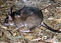 Malagasy.giant.rat.arp.jpg