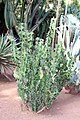 Malpighiales - Euphorbia caerulescens 3.jpg