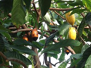 English: Cacao tree and cocoa tree (Theobroma ...