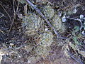 Mammillaria sinistrohamata (5726042280).jpg