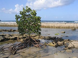 A red mangrove, Rhizophora mangle